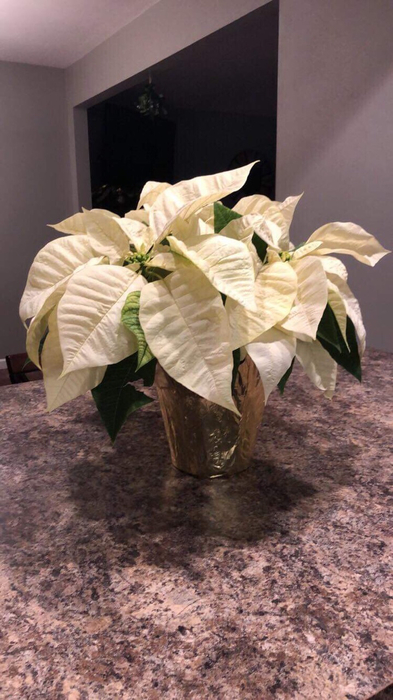 Display from a customer of the Wapello Horticulture Poinsettias! Hurry there are only a few of these left!